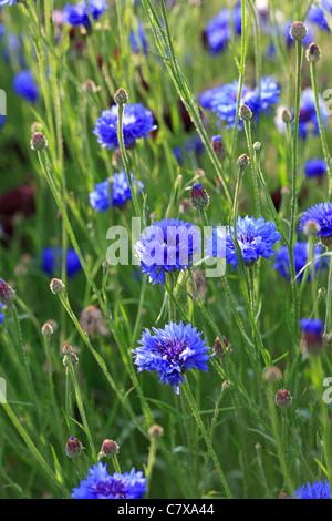 Centaurea cyanus - Cornflower  - Stock Photo