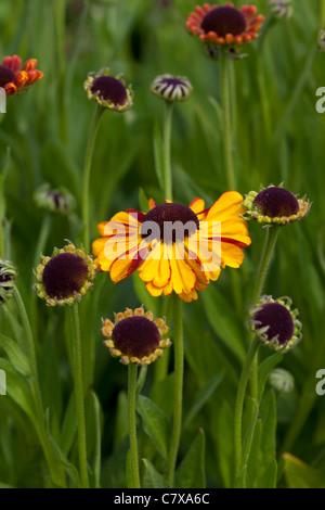Helenium Sahins early flowerer - Stock Photo