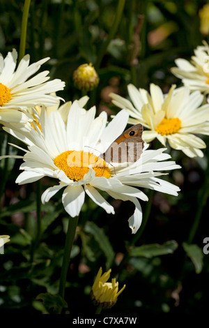 Leucanthemum x superbum 'broadway Lights' bright yellow to buttercream flowers & Meadow Brown butterfly, in Yorkshire, - Stock Photo