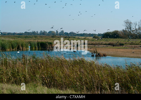 Wildfowl Cormorants Taking Off From Castle Water Rye Harbour Nature Reserve East Sussex England UK - Stock Photo
