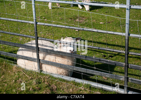 A Sheep Laying In The Grass Behind A Farm Gate Side View UK - Stock Photo