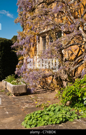 An ancient flowering Wisterial climbs the rich sandstone walls of Coton Manor forming the Terrace garden, Northamptonshire, - Stock Photo