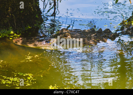 Lurking alligator at Greenfield Lake in Wilmington, North Carolina - Stock Photo