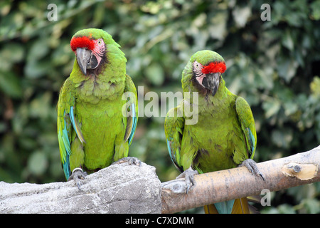 Two Military Macaws (Ara Militaris), large parrots, native to the forests of Mexico and South America - Stock Photo