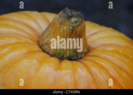 Pumpkin with the morning dew on it. - Stock Photo