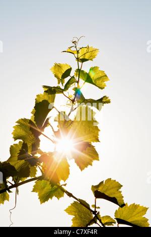 Canada,Ontario, Niagara Region,grape tendril - Stock Photo