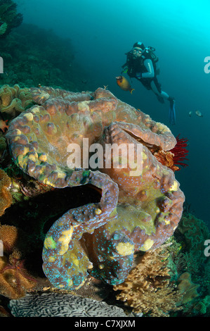 Giant Clam and Scuba Diver, Tridacna squamosa, Raja Ampat, West Papua, Indonesia - Stock Photo