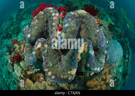 Giant Clam in Coral Reef, Tridacna squamosa, Raja Ampat, West Papua, Indonesia - Stock Photo