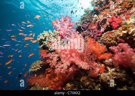 Colorful Coral Reef, Namena Marine Reserve, Fiji - Stock Photo