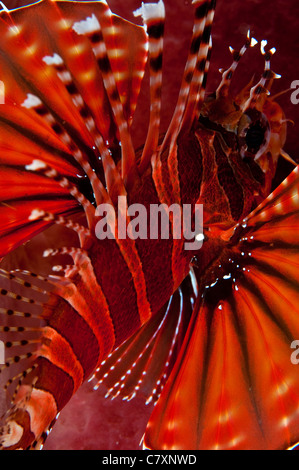 Close-up of spotfin lionfish in the Lembeh Straits Indonesia - Stock Photo