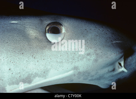 Tiger Shark (Galeocerdo cuvier), nictitating membrane half-closed to protect eye. Australia - Great Barrier Reef - Stock Photo