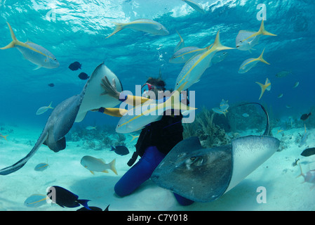 Diver interacts with Southern Stingrays (Dasyastis americana),'Stingray City', Bahamas - Caribbean Sea - Stock Photo