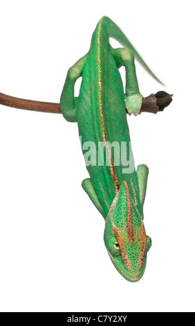 Young veiled chameleon, Chamaeleo calyptratus, in front of white background - Stock Photo
