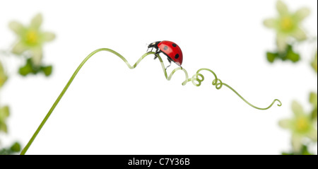 Seven-spot ladybird or Seven-spot ladybug on Larger Bindweed, Hedge Bindweed, or Rutland beauty, Coccinella septempunctata - Stock Photo