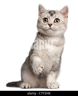 British Shorthair kitten, 4 months old, sitting in front of white background - Stock Photo