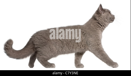 British Shorthair kitten, 3 months old, walking in front of white background - Stock Photo