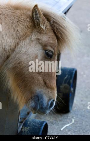 Equus ferus caballus Shetland Pony - Stock Photo
