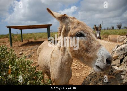 donkeys at the Donkey Sanctuary, Bonaire, Dutch Antilles - Stock Photo