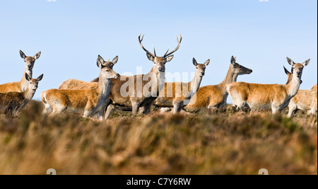 Red deer stag with hinds during rutting season - Stock Photo