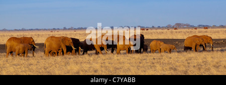 Panorama of a herd of Elephants in the evening sunlight, Tsavo East National Park, Kenya - Stock Photo
