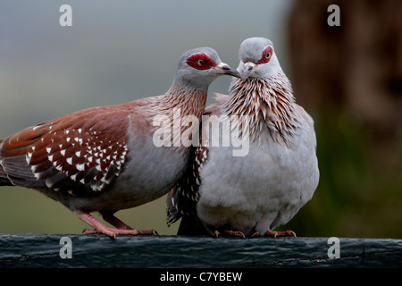 Speckled Pigeon or African Rock Pigeon (Columba guinea) pair in courtship display - Stock Photo