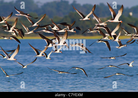 Flock of Black Skimmer birds at Wrightsville Beach in North Carolina - Stock Photo
