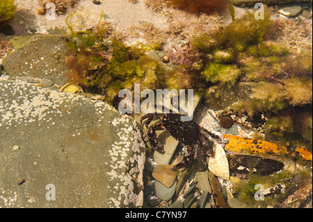 cryptic camouflage and markings help to blend shore crab against contents of rock pool - Stock Photo