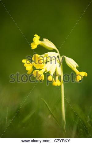 Cowslip at Hatfield Forest Primula veris - Stock Photo