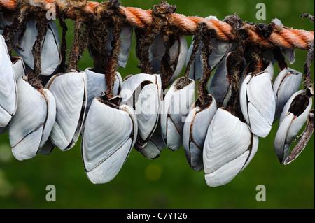 Common Goose Barnacle (Lepas anatifera) - Stock Photo