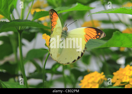Giant Orange Tip butterfly perched on a plant - Stock Photo