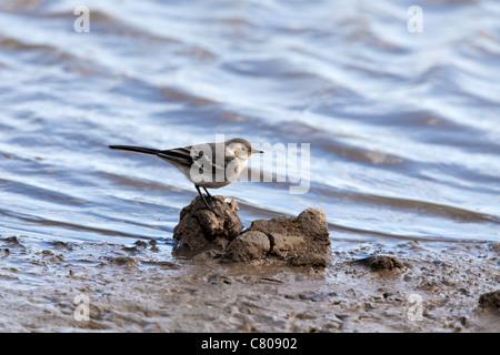 Pied Wagtail Motacilla alba yarrellii immature - Stock Photo