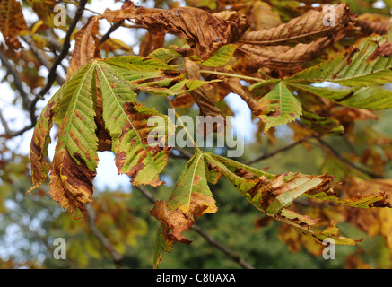 Diseased Horse Chestnut (aesculus hippocastanum) leaves showing brown pattern caused by horse chestnut leaf miner - Stock Photo