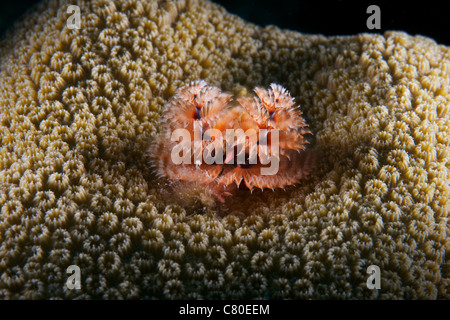 Christmas Tree Worm in hard coral, Bonaire, Caribbean Netherlands. - Stock Photo