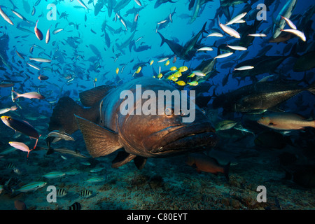 A school of Golden Trevally follow a Giant Grouper for protection during a shark feed. - Stock Photo