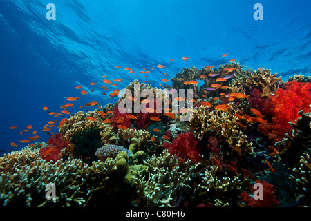 A school of orange basslets (Pseudanthias squamipinnis) on a healthy coral reef, Fiji. - Stock Photo