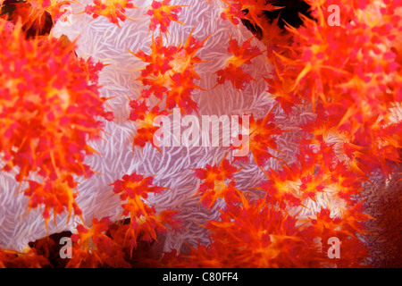 Detailed view of soft coral revealing the spicules that give stability to its form, Fiji. - Stock Photo
