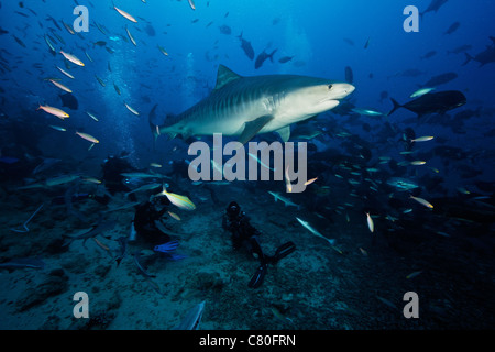 A 10 foot Tiger Shark swims over a group of divers after consuming a large tuna head. - Stock Photo
