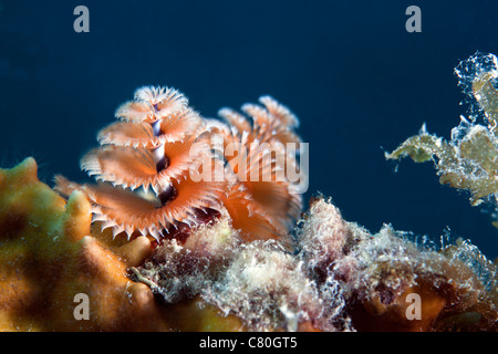 Cose-up view of a Christmas Tree Worm, Key Largo, Florida. - Stock Photo