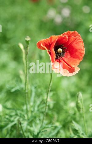 Close up shot of tender poppy flower. - Stock Photo