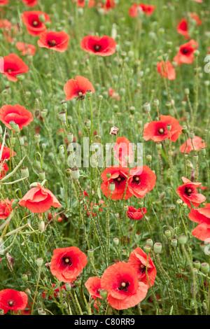 Field of wild poppy flowers. - Stock Photo