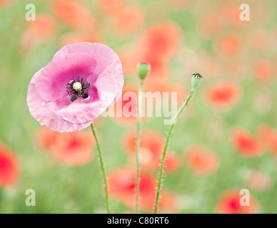 Close up shot of tender pink poppy flower in red poppy field. - Stock Photo