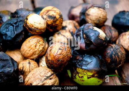 Walnuts, just harvested and many still in their husk - Stock Photo