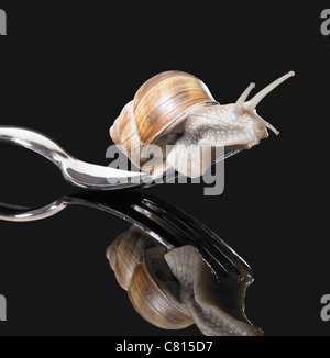 studio photography of a Grapevine snail creeping on a fork in dark reflective back