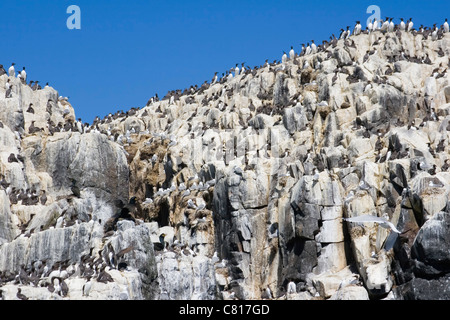 Colony of Common Guillemots or Common Murres on the Farne Islands, Northumberland Coast, England. Stock Photo
