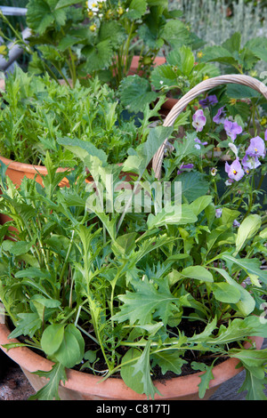 Mixed salad leaves growing in pots in suburban garden - Stock Photo