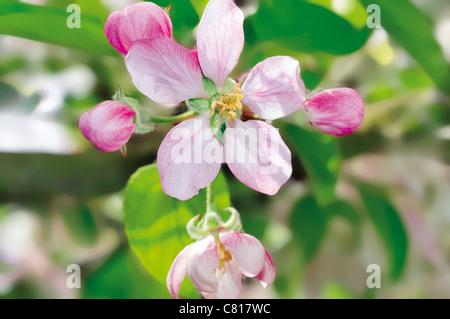 Portugal, Alentejo: Apple tree in blossom in the Rural Tourism Estate Monte Saraz near Monsaraz - Stock Photo