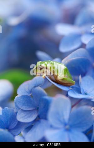 Tree Frog on Hydrangea Flowers - Stock Photo