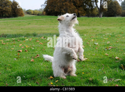 A small white old dog standing on two feet - Stock Photo