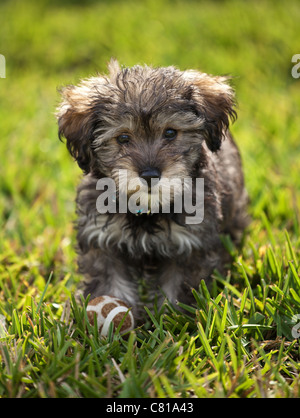 A schnoodle puppy with a ball at his feet. - Stock Photo
