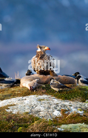 White tailed sea eagle Haliaeetus Albicilla with blood stained bill feeding on carcass of a roe deer - Stock Photo